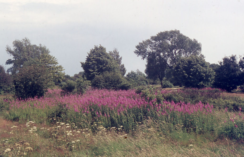 Near Seven Islands pond, Mitcham Common, Mitcham, Surrey CR4. Rosebay Willow herb.