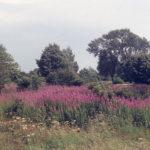 Near Seven Islands pond, Mitcham Common, Mitcham, Surrey CR4. Rosebay Willow herb.