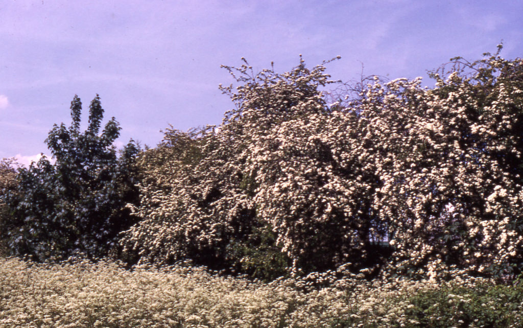 Hawthorn and hedge parsley near Phipps Bridge, London SW19.